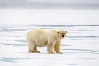 polar bear, Ursus maritimus, with bloody face, roaming on ice after feeding on Atlantic walrus, Odobenus rosmarus rosmarus, Spitsbergen, Svalbard, Norway, Arctic Ocean