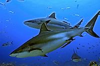 Peixe Tubarão cinza em Roatan. Caribe. Foto de Ricardo Azoury.