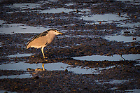 A Black-crowned night heron stands in the low tide muddy wetlands at the Martin Luther King Jr. Regional Shoreline.