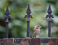 The rufous-collared sparrow is common in many Latin American countries.