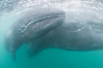 Guerroro Negro, Baja California Sur, Mexico; a curious baby gray whale swims close to the boat to investigate, while its mother stays close by