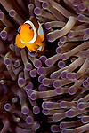 False clown anemonefish, Amphiprion ocellaris, in magnificent anemone, Heteractis magnifica, Puerto Galera, Oriental Mindoro, Pacific Ocean