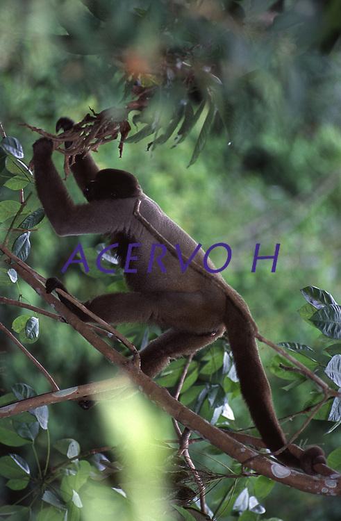 Macaco Barrigudo (Lagothrix lagotricha)<br /> <br /> Características: O Macaco Barrigudo é um primata que tem o corpo coberto de uma pelagem densa e lanosa, de cor que varia entre o castanho-escuro até ao cinzento e castanho avermelhado, expondo uma tonalidade mais escura na região da cabeça. O tamanho do seu corpo e cabeça varia entre os 40 e 55 cm, enquanto a sua cauda pode medir entre 55 e 70 cm. A cabeça é redonda com orelhas pequenas, desprovida de pelos na face. Os seus membros são compridos, com mãos semelhantes às humanas, mas os polegares não chegam junto dos outros dedos. Apresenta ainda uma cauda preênsil e sem pelos na superfície inferior junto da ponta.<br /> <br /> Foto Marcello Lourenço