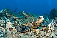 Green sea turtles, Chelonia mydas, an endangered species, resting on a reef. Hawaii.