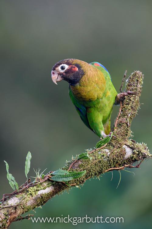 Brown-hooded Parrot (Pyrilia haematotis) in rainforest canopy. Laguna del Lagarto, Boca Tapada, Caribbean slope, Costa Rica, Central America.