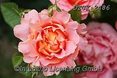 Gisela, FLOWERS, BLUMEN, FLORES, photos+++++,DTGK2486,#f#, EVERYDAY ,rose,roses