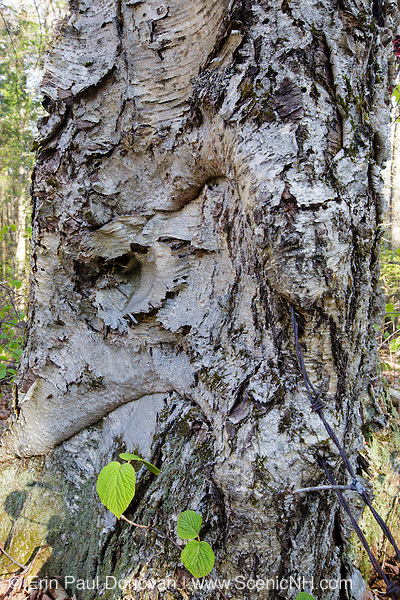 Human Impact - Old Yellow Birch (Betula alleghaniensis) damaged from barbed wire in the Little River drainage of Bethlehem, New Hampshire USA