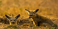 Portrait of two cute bat-eared foxes with yellow savanna grass background in Masai Mara national park, at the border of Kenya and Tanzania, Africa