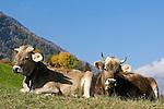 Italy, South Tyrol, Alto Adige, Val Venosta: two cows lying at alpine pasture, ruminant