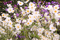 Autumn perennials: Aster ericoides, Anemone x hybrida Honorine Jobert and purple asters . 2016 Perennial Plant of the Year™