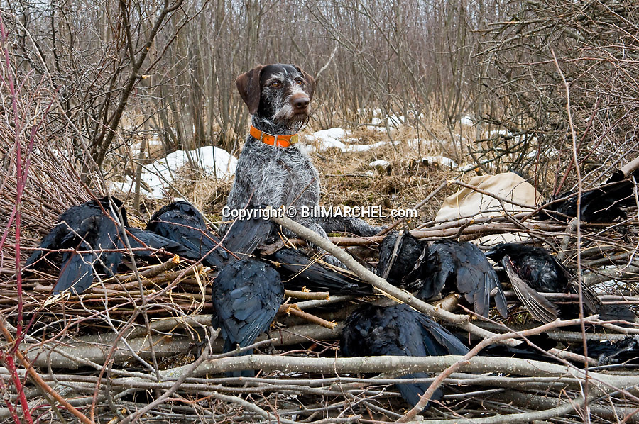 00279-020.14 Deutsch Drahthaar poses from blind with bagged crows that he retrieved.  Hunt, train, fetch, offseason.