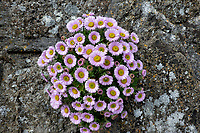 Flowers on rock wall. Mousehole, England