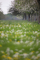 France, Calvados (14), Pays d' Auge, Bellou , champ fleuri et pommiers en fleurs  // France, Calvados, Pays d' Auge, Bellou , flowery meadow and flowering apple trees,