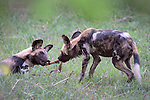 Painted Hunting Dog pups (Lycaon pictus) tugging on an Impala leg. South Luangwa National Park, Zambia.