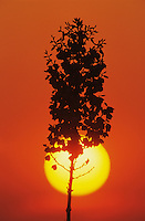 Soaptree Yucca, Yucca elata, blossom at sunrise, Lake Corpus Christi, Texas, USA, May 2003
