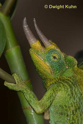 CH35-637z  Male Jackson's Chameleon or Three-horned Chameleon, close-up of face, eyes and three horns, Chamaeleo jacksonii