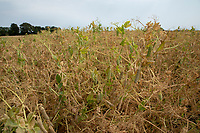 Combinable peas - Lincolnshire, July