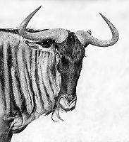 The striping of the wildebeest's coat isn't always apparent in flat light.