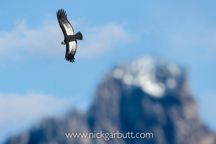 Male Andean condor (Vultur gryphus) flying over Torres del Paine Massif. Torres del Paine National Park, Chilean Patagonia, Chile. March.