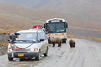 Tourists and professional film crew watch a grizzly bear and cub on the park road of Denali National Park.
