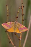 Ampfer-Purpurspanner, Ampferpurpurspanner, Purpurspanner, Purpur-Spanner, Purpurbindenspanner, Purpurbinden-Spanner, Sauerampfer-Purpurbindenspanner, Vogelknöterich-Purpurbindenspanner, Lythria cruentaria, Lythria rotaria, Purple-barred Yellow, Purple barred yellow, Spanner, Geometridae, looper, loopers, geometer moths, geometer moth
