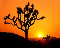 Sunset on a Joshua tree; Joshua Tree National Park, CA
