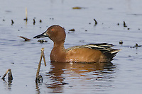Cinnamon Teal swimming on a marsh