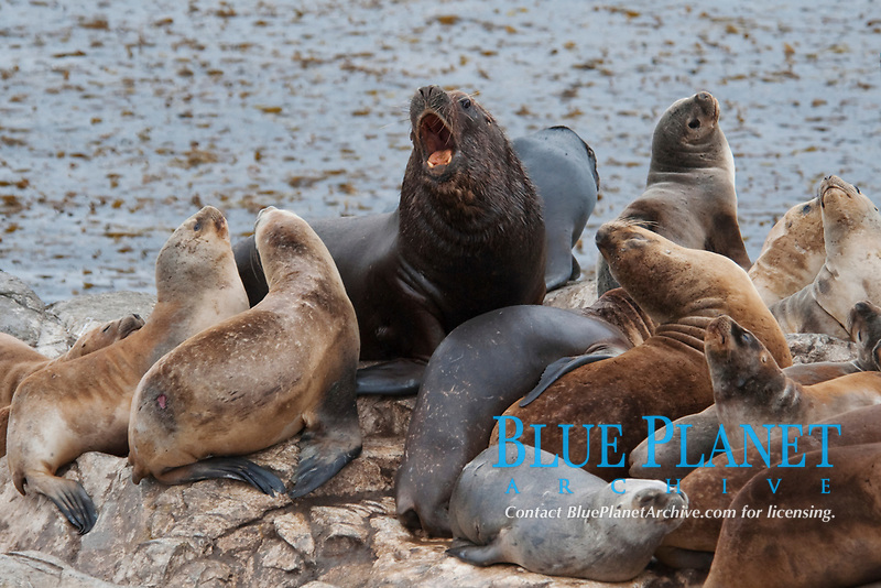 South American Sea Lions, Otaria flavescens/byronia, a dominant bull growling at the rest of the rookery, Beagle Channel, Argentina, South America.