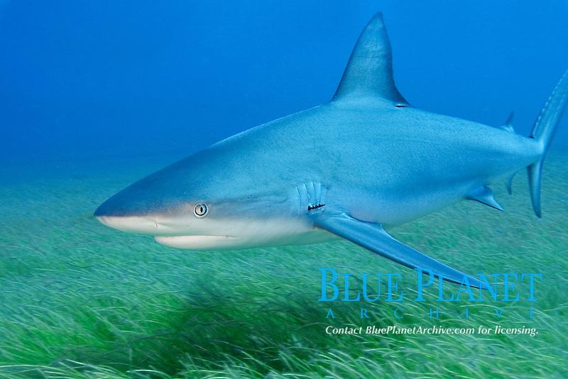 Caribbean reef shark, Carcharhinus perezii, Bahamas, Caribbean Sea, Atlantic Ocean ( do )