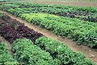 HS21-808x  Lettuce - lettuce trials at Johnny's Selected Seeds
