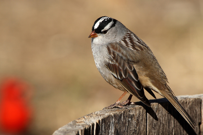 The smart black-and-white head, pale beak, and crisp gray breast combine for a dashing look - and make it one of the surest sparrow identifications in North America.