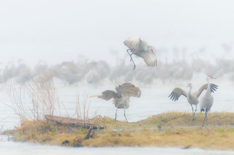 A foggy morning on the Platte River with Sandhill Cranes; Platte Rive, NE.