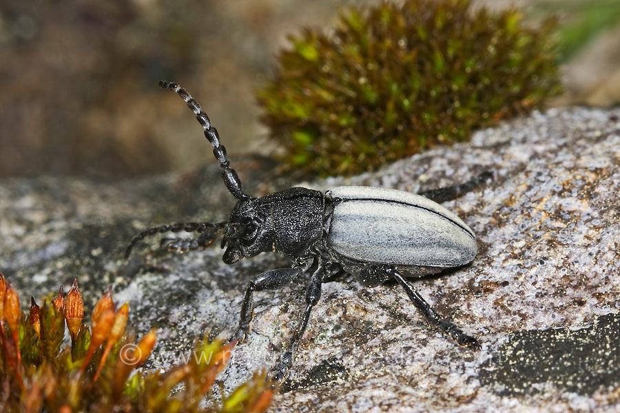 Variabler Erdbock, Grauflügeliger Erdbock, Erdbockkäfer, Erd-Bock, Erd-Bockkäfer, Dorcadion fuliginator, Iberodorcadion fuliginator, grass-feeding beetle, Flightless Longhorn Beetle