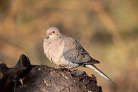 Mourning Dove (Zenaida macroura marginella), female at the Riparian Preserve at Water Ranch, Gilbert, Arizona.