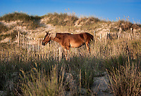 Wild Spanish mustang grazing among the dunes, Outer Banks, North Carolina, USA