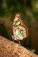 Beautiful butterfly clinging to a tree at the St louis Zoo insectarium, Missouri.