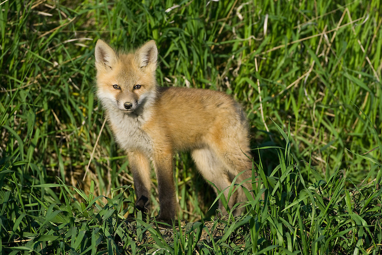 Red Fox Kit standing in the evening sun in the tall grass