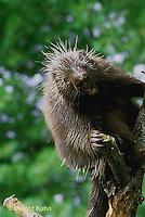 MA05-008z  Porcupine - in tree - Erethizon dorsatum