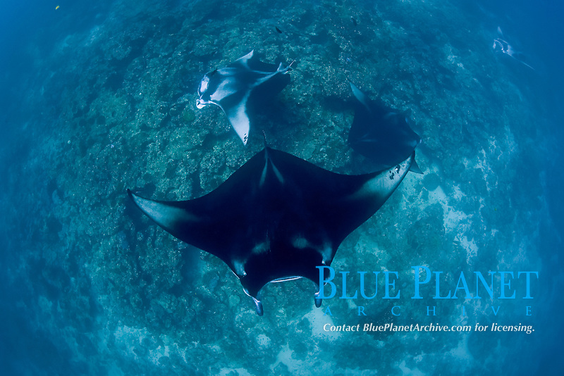 reef manta rays, Mobula alfredi, at cleaning station on coral reef; the mantas at center and top left are females with dark mating scars on the left pectoral wing tip; Manta Point, Lankan, North Male Atoll, Maldives, Indian Ocean