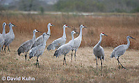 0102-1017  Flock of Sandhill Cranes Eating in Field during Winter, Grus canadensis  © David Kuhn/Dwight Kuhn Photography