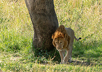 A male Lion, Panthera leo  melanochaita, beside a tree in Maasai Mara National Reserve, Kenya