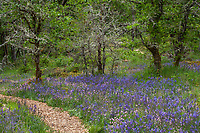 Mulched path trail through flowering meadow with Camass flowers (Camassia quamash) in Oregon White Oak (Quercus garryana) woodland clearing; nature's garden design  - Camassia Nature Preserve, The Nature Conservancy protected park, Portland Oregon