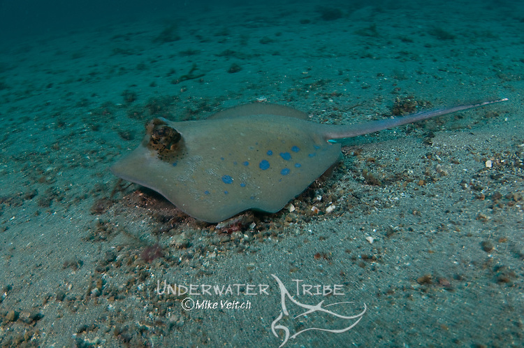 Blue Spotted stingray, Dasyatis kuhlii, Lembeh Strait, Bitung, Manado, North Sulawesi, Indonesia, Pacific Ocean