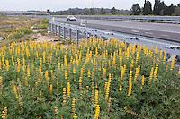 Gelbe Lupine, Lupinus lutea, Lupinus luteus, Annual yellow-lupin, European yellow lupine, Yellow Lupin, Lupin jaune