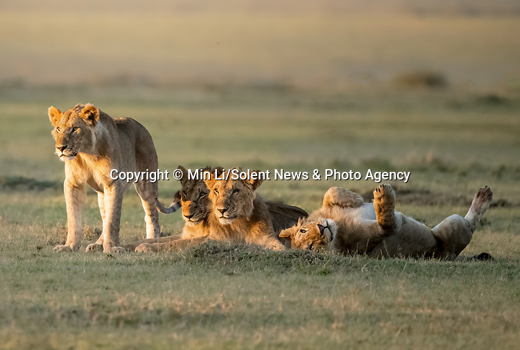 """A lion appears to take life a little less seriously than the rest of the pride.<br /> <br /> The amusing image was captured by Min Li in The Maasai Mara Wildlife Reserve in East Africa.<br /> <br /> Min said, """"Another pride had hunted down a wildebeest for their breakfast and this group was watching -  waiting to get a taste of the scraps.  One of them looked impatient, laying on the ground as the others looked on.""""<br /> <br /> Please byline: Min Li/Solent News<br /> <br /> © Min Li/Solent News & Photo Agency<br /> UK +44 (0) 2380 458800"""