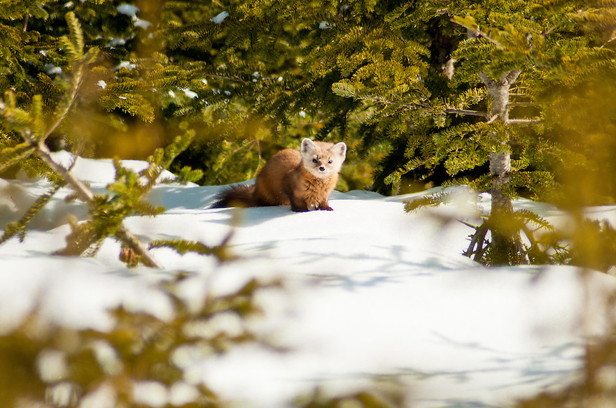 A Pine Martin gives me a look from the edge of some scrub. This beautiful, almost gentile looking weasel is a formidable predator in the northern coniferous forest.