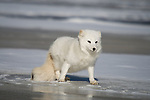 Arctic fox (Alopex lagopus) walking on the ice.