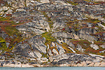 Dwarf birch (Betula nana) and Dwarf Willow (Salix herbacea) decorate the rocks of Eastern Greenland.