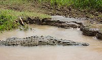 American Crocodile, Crocodylus acutus, floats in the Tarcoles River, Costa Rica. Listed as Vulnerable in the IUCN Red List of Threatened Species.