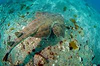 Pacific angel shark, Squatina californica, Channel Islands National Marine Sanctuary, California, USA, East Pacific Ocean